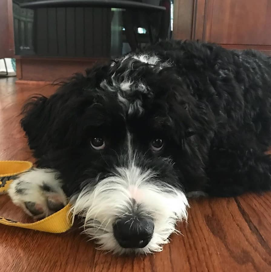 bernedoodle-puppy-picture