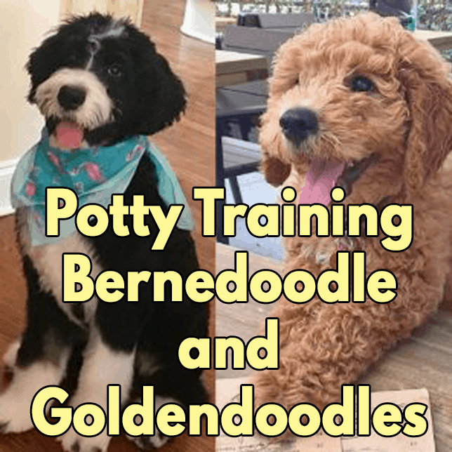 Potty Train Bernedoodle and Goldendoodle Puppies?