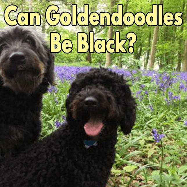 Can-GoldenDoodles-be-Black