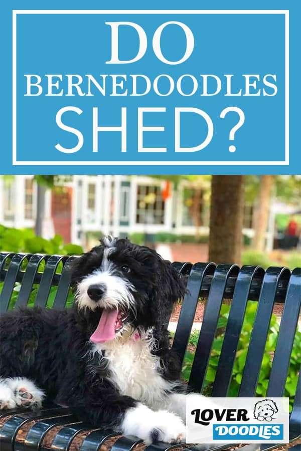 DO BERNEDOODLES SHED