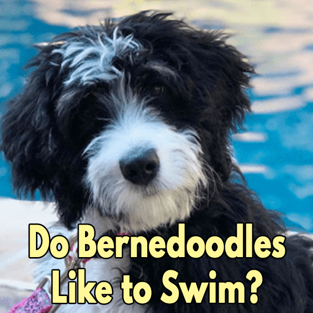 Do-Bernedoodles-Like-to-Swim-