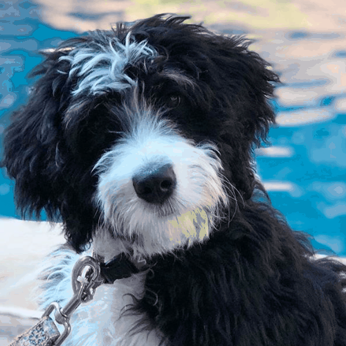 Do Bernedoodles Like to Swim
