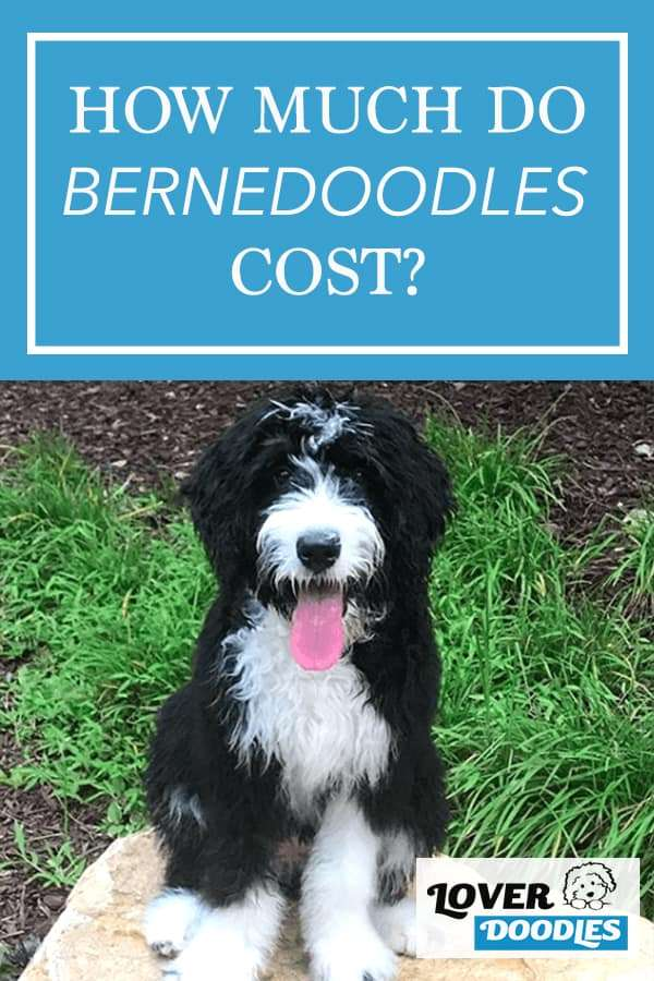 How much do bernedoodles cost?