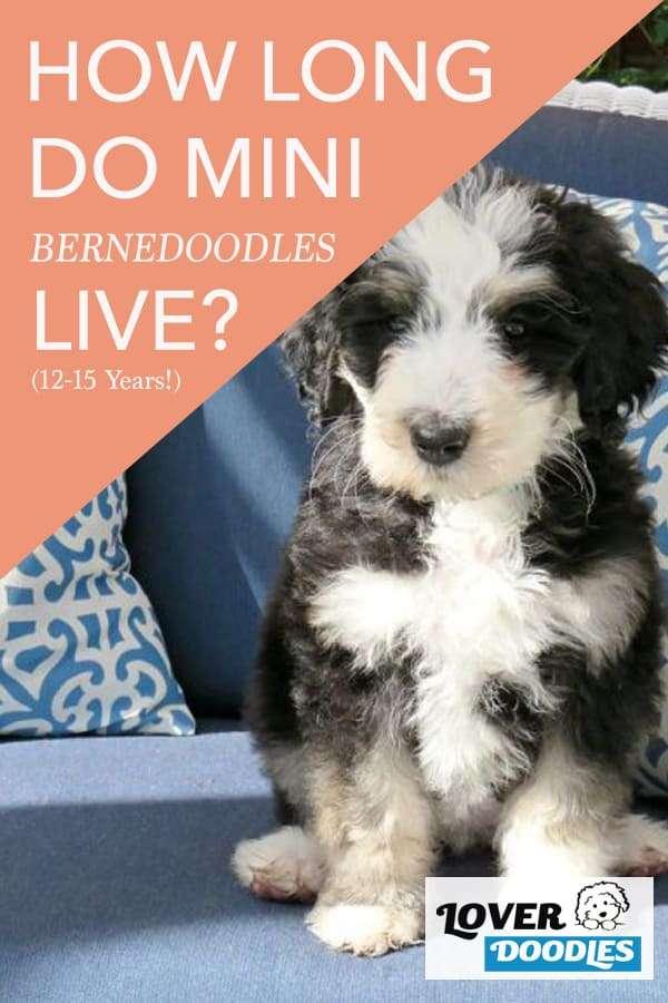 How Long do Mini Bernedoodles Live