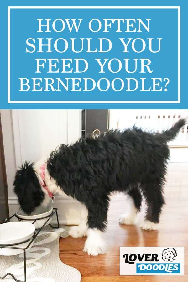 How Often Should You Feed a Bernedoodle