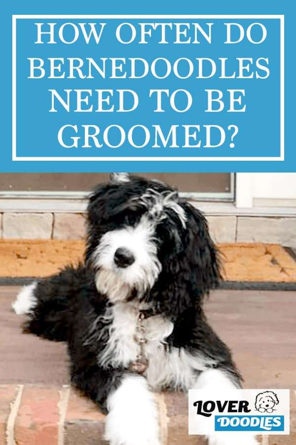 How often do Bernedoodles need to be groomed?