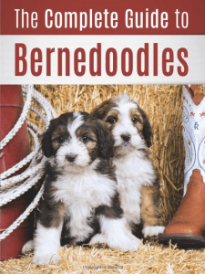 The Complete Guide To Bernedoodles