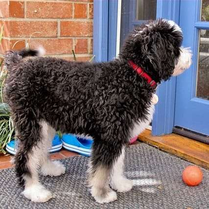 When will my Bernedoodle stop growing.