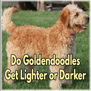 Do Goldendoodles Get Lighter Or Darker?