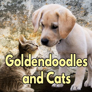 Do Goldendoodles get along with cats
