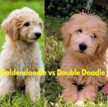 Goldendoodle-vs-Double-Doodle