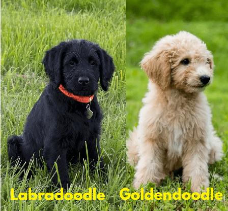 Do Labradoodles Shed More Than Goldendoodles?