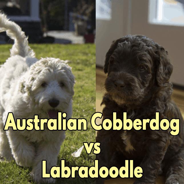 Australian Cobberdog vs Labradoodle