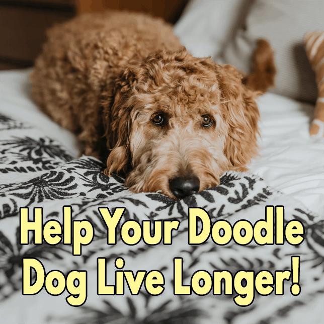 Help your doodle dog live longer