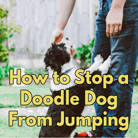 How to stop your doodle dog from jumping on people