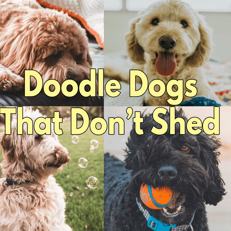 Doodle Dogs That Don't Shed