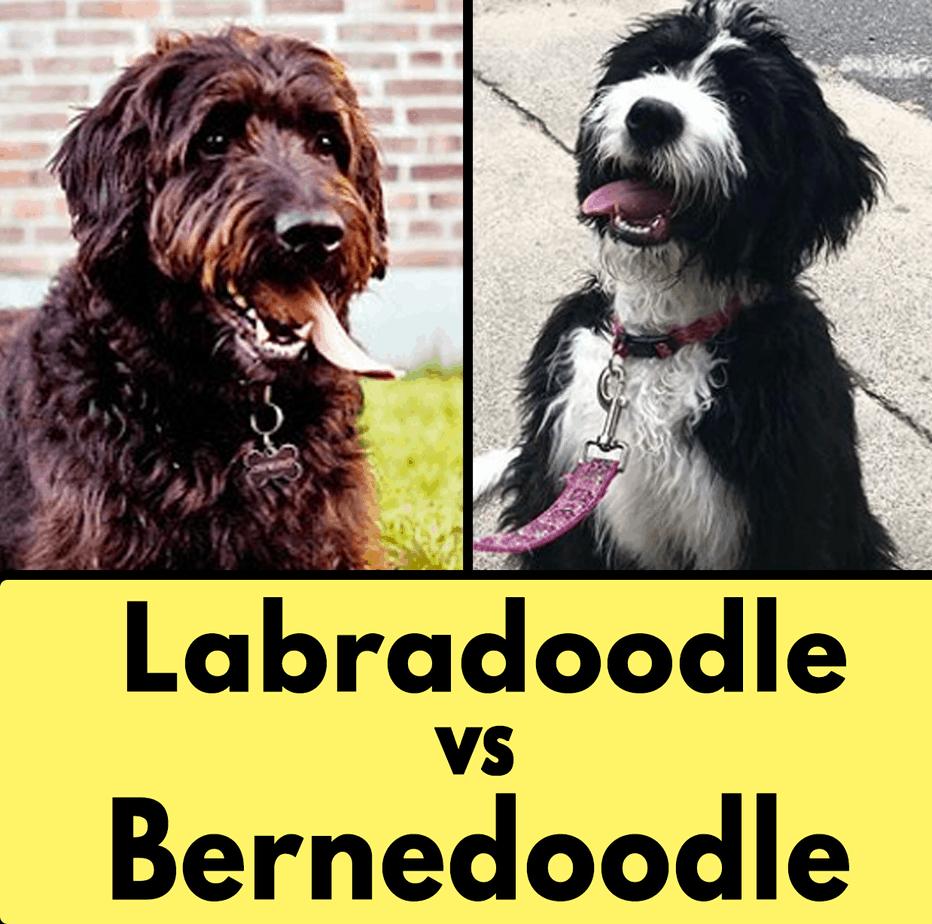 Labradoodle vs Bernedoodle