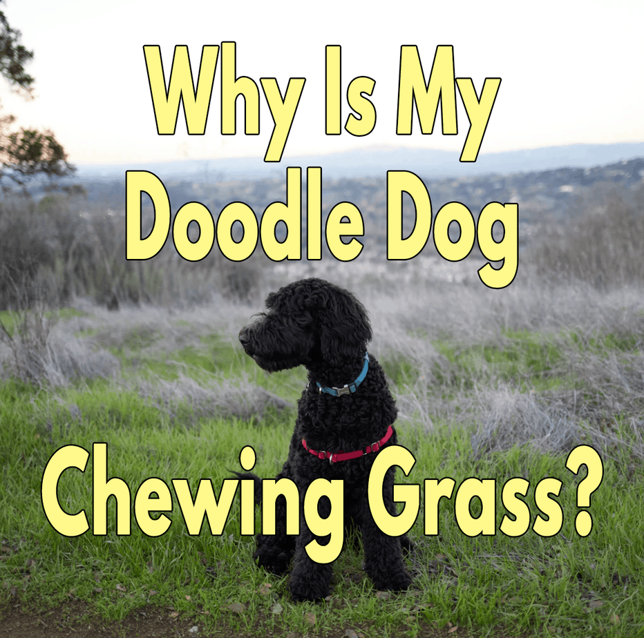 Why Is My Doodle Dog Chewing Grass?