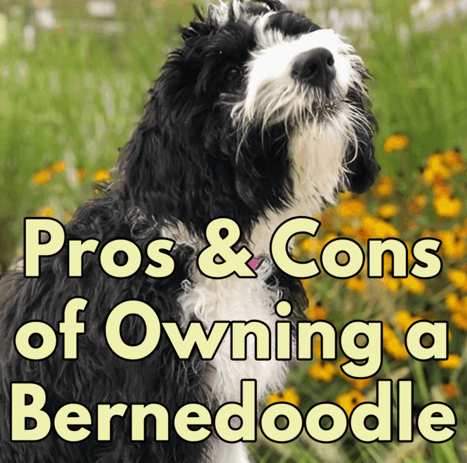 Pros And Cons Of Owning A Bernedoodle