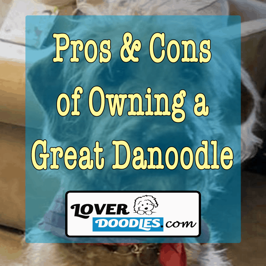 Pros-and-Cons-of-Owning-a-Great-Danooodle