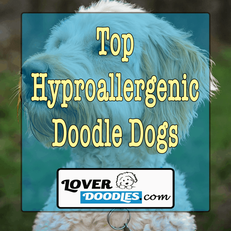Top Hyproallergenic Doodle Dogs