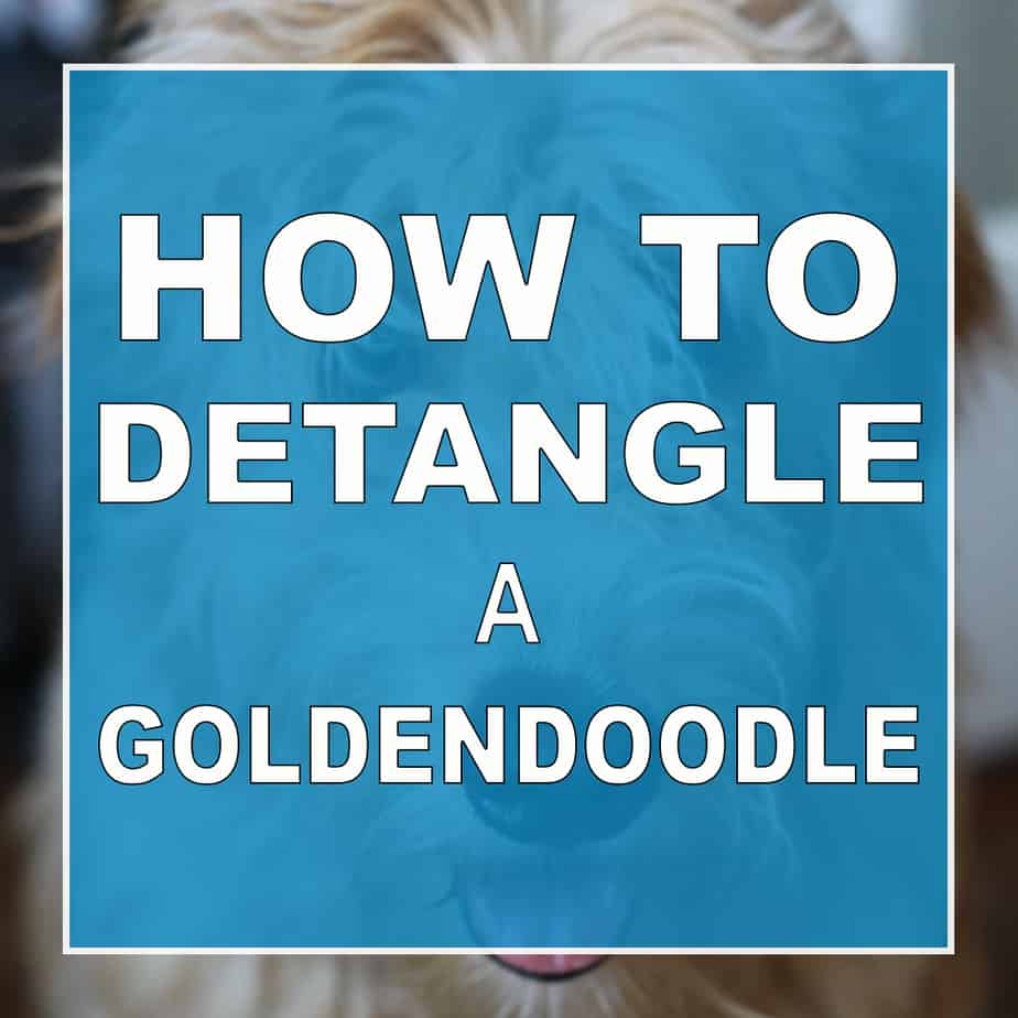 how to detangle a goldendoodle