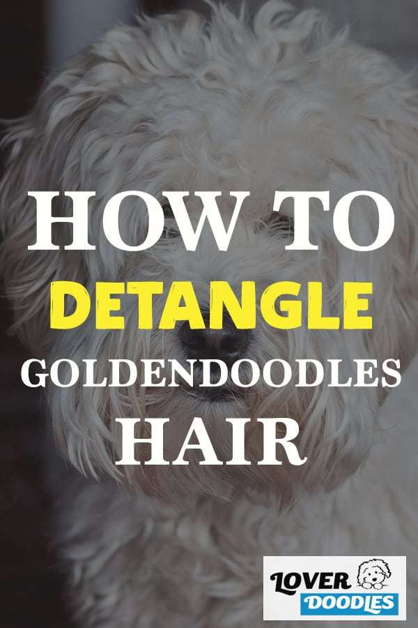 how to detangle goldendoodles hair