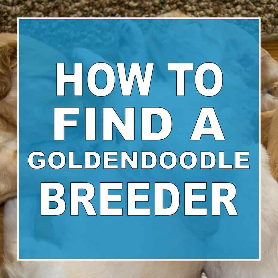 how to find a goldendoodle breeder