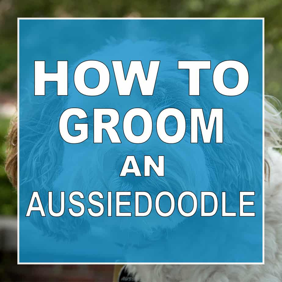 How to groom an aussiedoodle