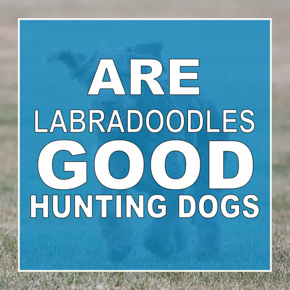 are labradoodles good hunting dogs?