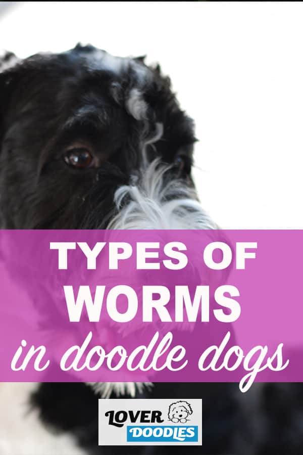 types of worms in doodle dogs (pin)