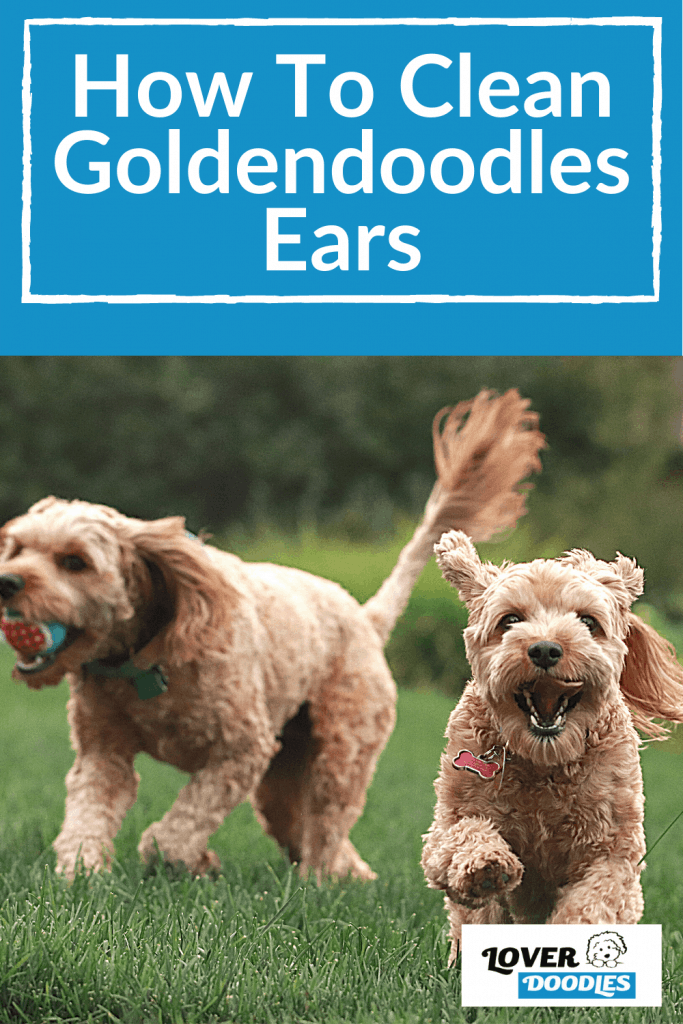 How To Clean Goldendoodles Ears-pin