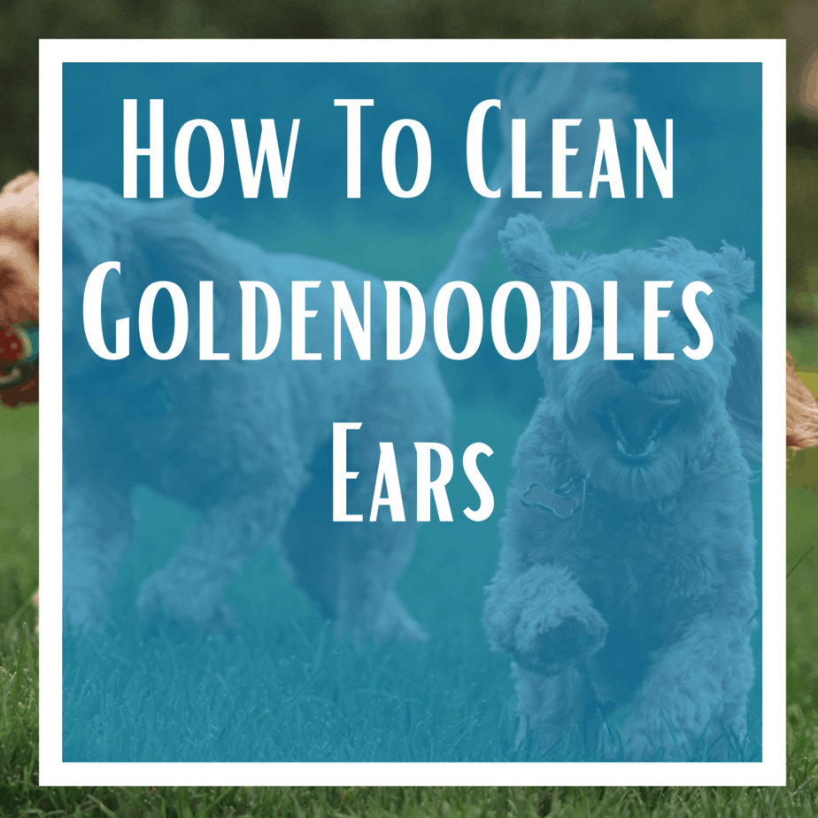 How To Clean Goldendoodles Ears