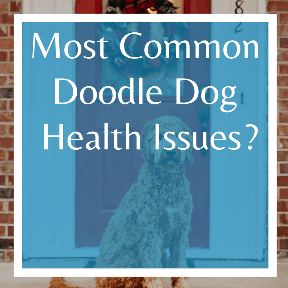 Most Common Doodle Dog Health Issues?