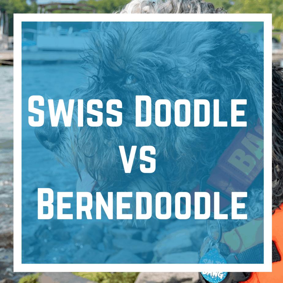 Swiss Doodle vs Bernedoodle