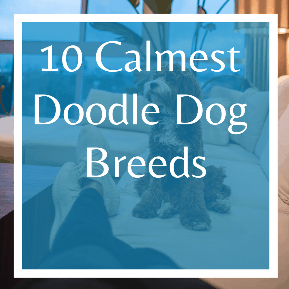10 Calmest Doodle Dog Breeds