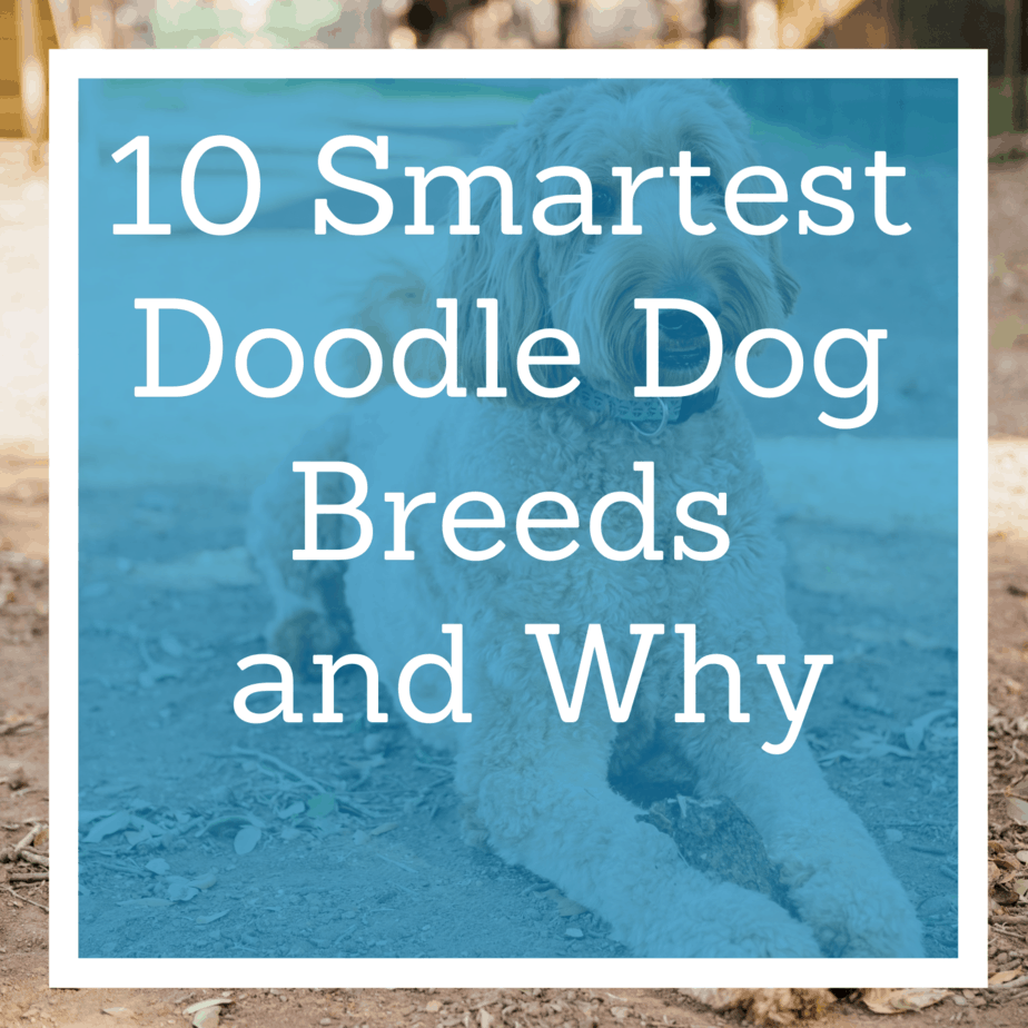 what are the 10 smartest Doodle dog breeds and why?