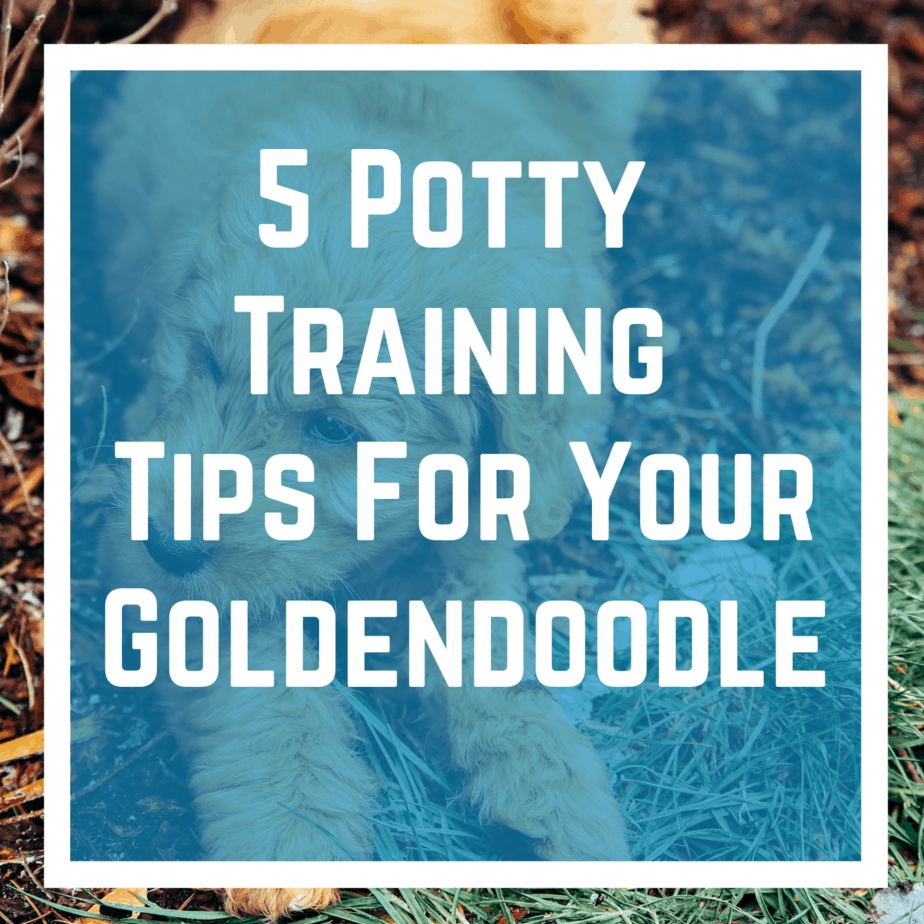 5 Potty Training Tips For Your Goldendoodle