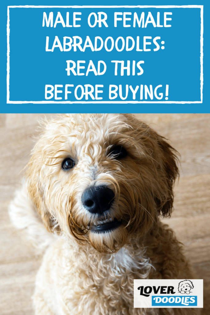 Male or Female Labradoodles: Read this Before Buying!