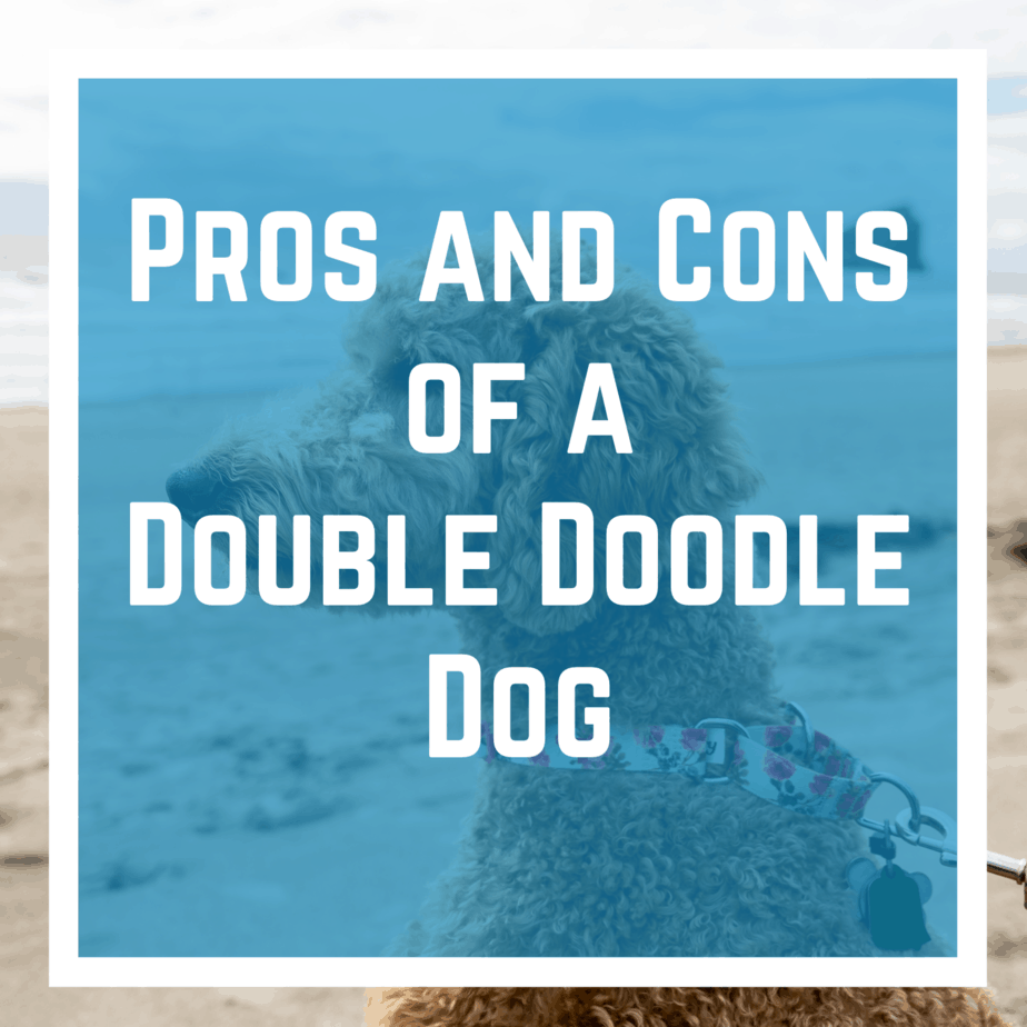 Pros and Cons of a Double Doodle Dog
