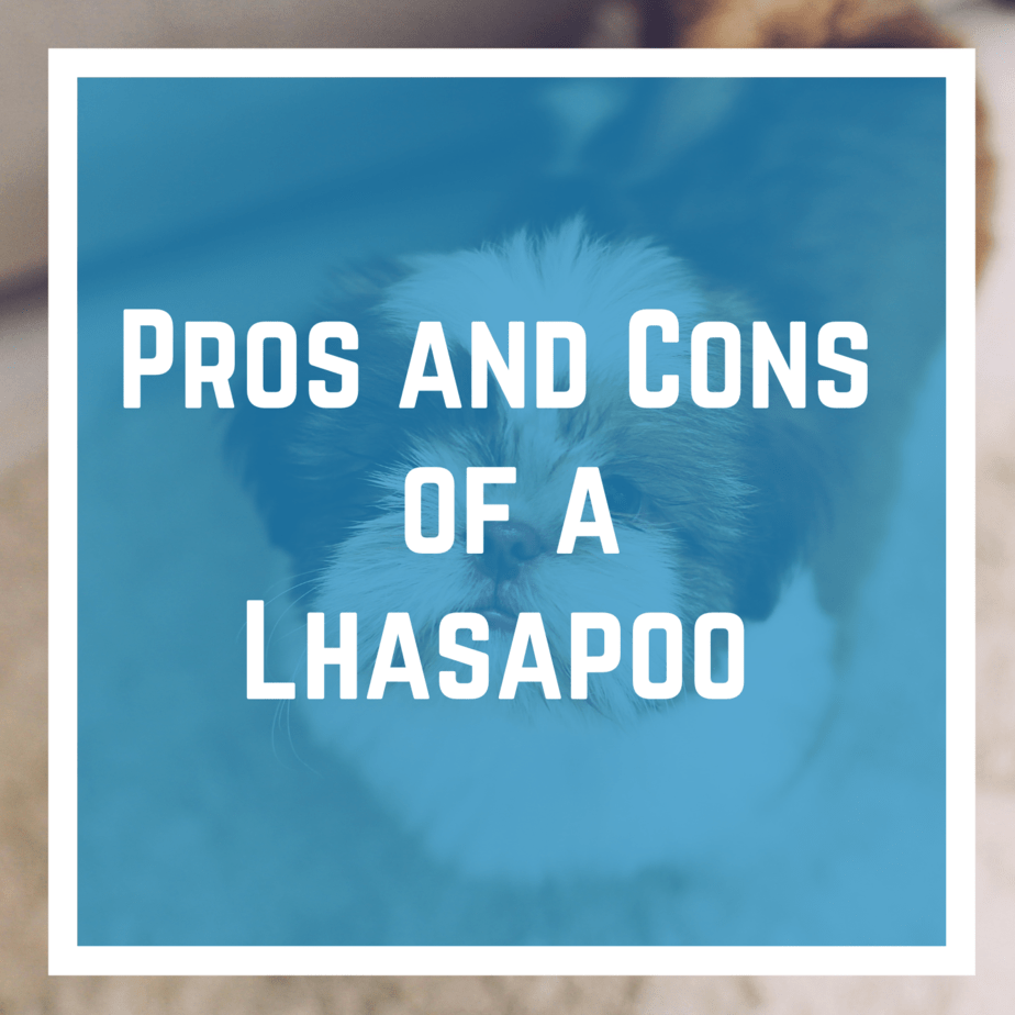 pros and cons of a Lhasapoo.