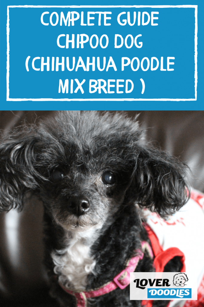 Complete Guide Chipoo Dog (Chihuahua Poodle Mix Breed )