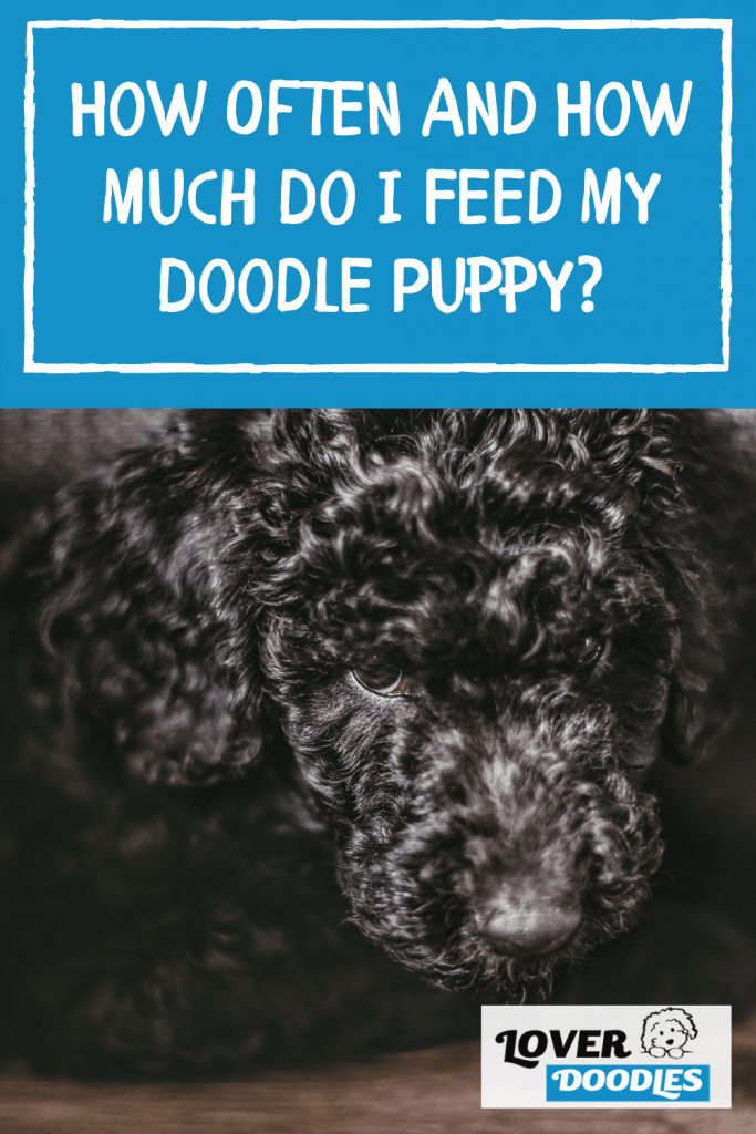 How Often And How Much Do I Feed My Doodle Puppy?