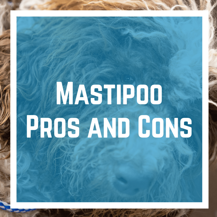 Mastipoo Pros and Cons