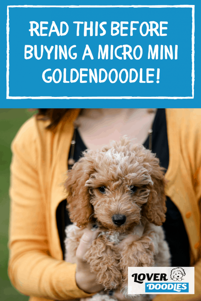 Read This Before Buying a Micro Mini Goldendoodle!