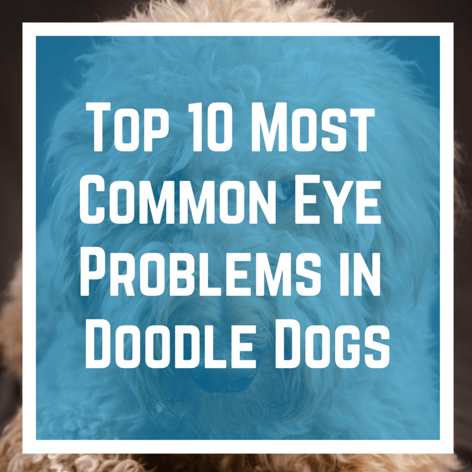 Top 10 Most Common Eye Problems in Doodle Dogs