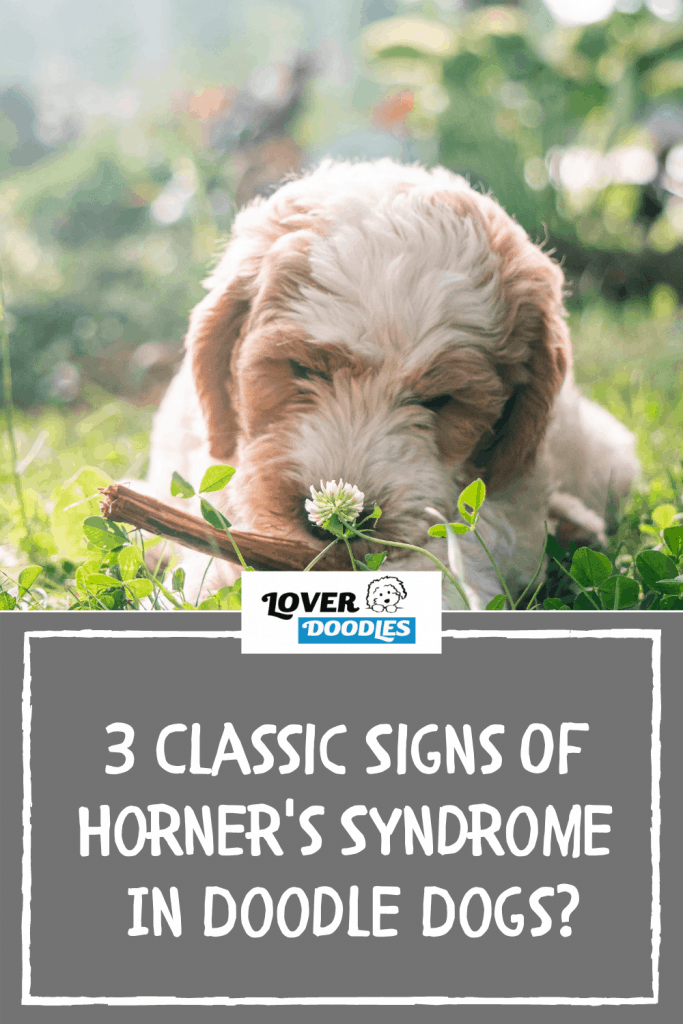 3 Classic Signs Of Horner's Syndrome In Doodle Dogs?