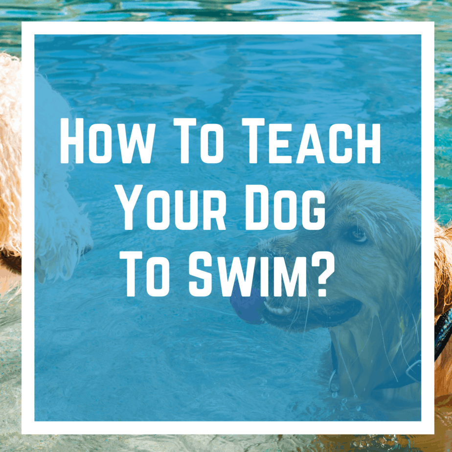 How To Teach Your Dog To Swim?