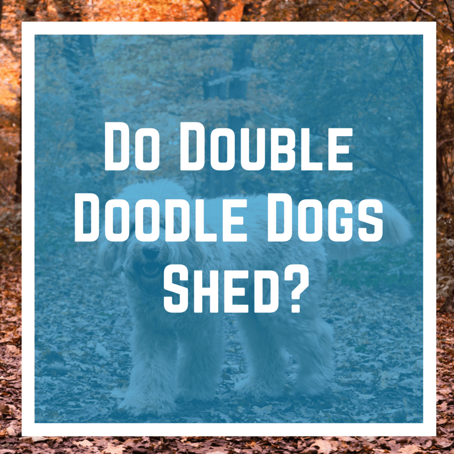 Do Double Doodle Dogs Shed?