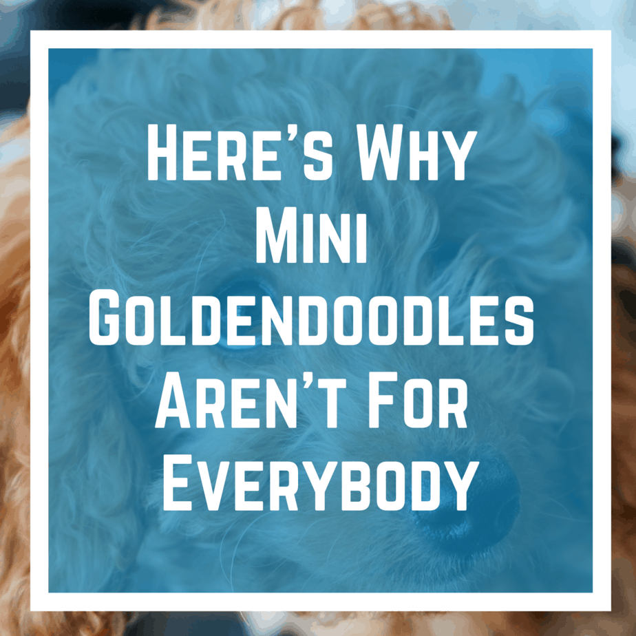 Here's Why Mini Goldendoodles Aren't For Everybody